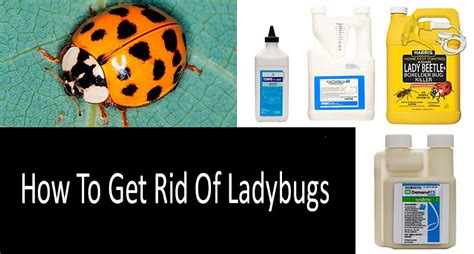 how to get rid of ladybugs top 7 traps and killers
