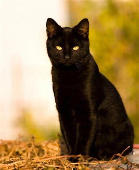 black cat black cat random photo 32500118 fanpop