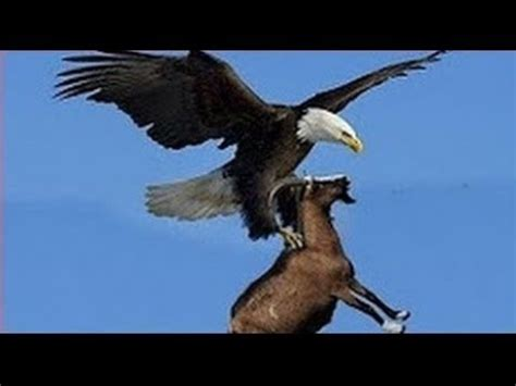 imagenes de leones vs aguilas documental de aves rapaces cazando a su presa documentales