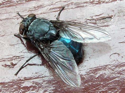 Blus Fly by Diptera