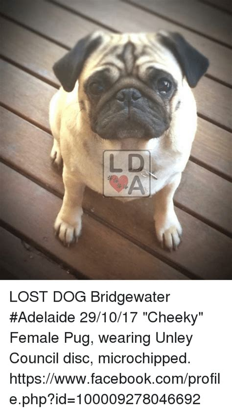 pug puppies adelaide lost bridgewater adelaide 291017 cheeky pug wearing unley council disc