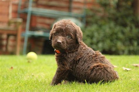 f1 labradoodle puppies for sale f1 miniature labradoodle puppies taunton somerset pets4homes