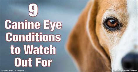 golden retriever pigmentary uveitis treatment blue cloudy spot on s eye hairsstyles co