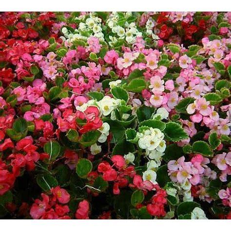 gambar bunga begonia hijau merah muda close wallpaper