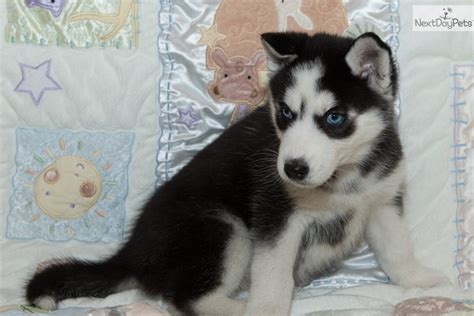 siberian husky puppies for sale in houston husky puppies for sale siberian puppy houston pomsky breeds picture