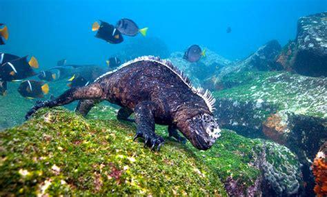 kind  galapagos marine iguana scuba diving