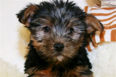 teacup yorkies for sale in columbus ohio pin ckc yorkie puppies columbus ohio on