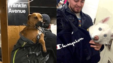 dogs on nyc subway nyc subway bans dogs unless they fit in a bag challenge accepted