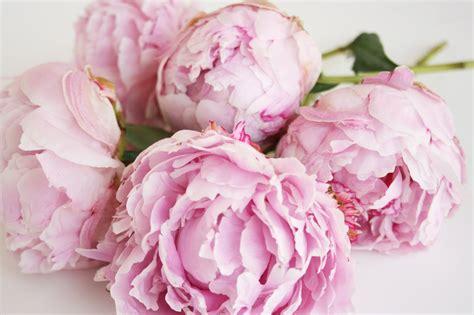 the pink peonies blush pink peonies