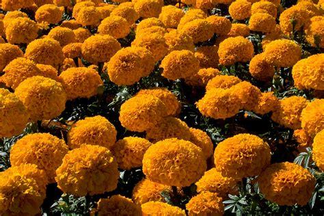 imagenes de flores de muertos kimera el cempas 250 chil la flor de los muertos