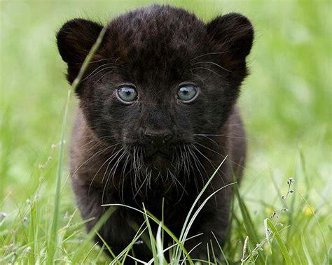 imágenes jaguar negro la pantera negra no existe biostreet