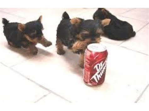yorkies for sale in south dakota gorgeous teddy teacup yorkie puppies animals alexandria south dakota
