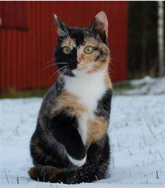 why are calico cats always female pethelpful