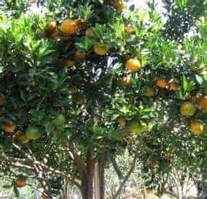 Tray Semai 288 jual bibit unggul tanaman jeruk keprok siam bibit