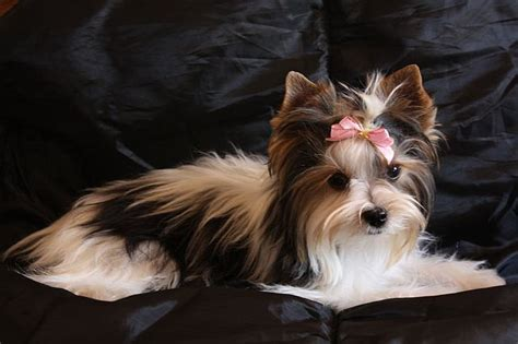 shih tzu yorkie mix puppies for sale michigan how to trim a morkie puppy hairstyle galleries for 2016 2017