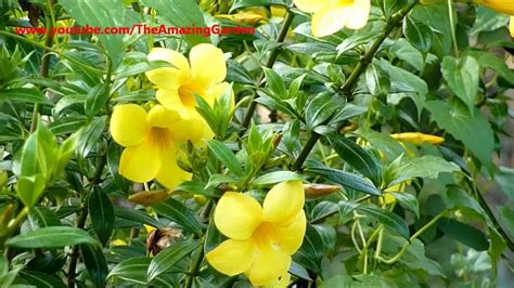 yellow trumpet flower shrub allamanda yellow bell buttercup flower golden