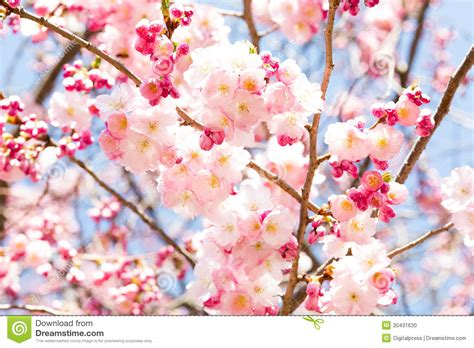 pink cherry blossom stock photo image 30431630