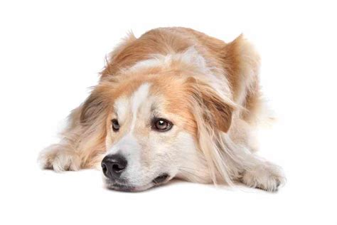 of the border golden retrievers border collie golden retriever mix a k a golden border collie ultimate home