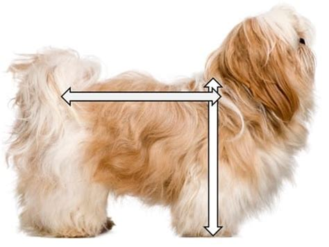 shih tzu height shih tzu information center shih tzu size