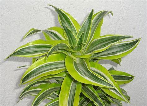 Tanaman Yellow Dracaena 9 houseplants that will purify your home s air avas flowers