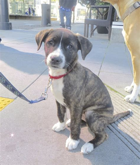 10 week pitbull puppy of the day bowser the 10 week pit bull chow st bernard mix the dogs of san
