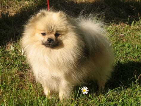 pekingese shih tzu pomeranian mix corgi photos picture