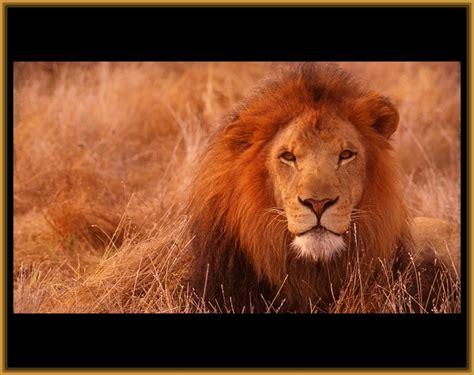imagenes de leones increibles imagenes de leones reales para compartir imagenes de leones