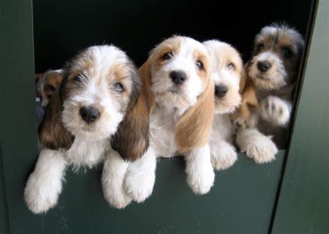 pbgv puppies petit basset griffon vendeen dogs