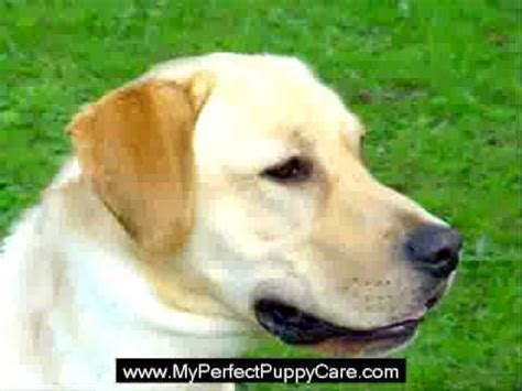 golden retriever puppy potty potty tips netmums quiche golden retriever puppy potty tips
