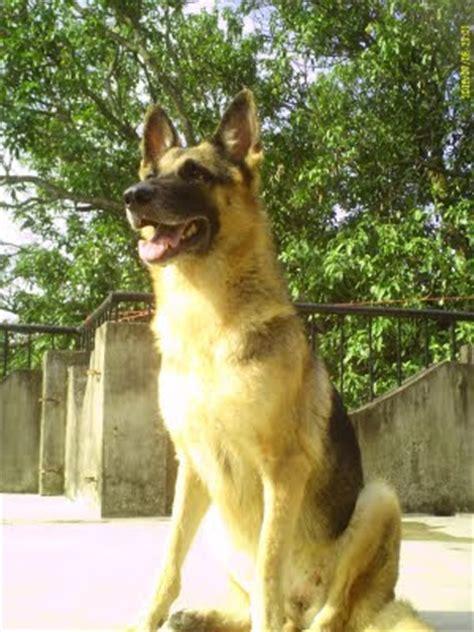 information  german shepherds raising training german shepherd puppies german shepherd