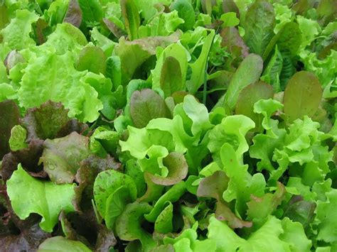 wallpaper gift  nature amazing health benefits  lettuce