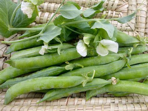 green arrow dwarf shelling english pea   southern