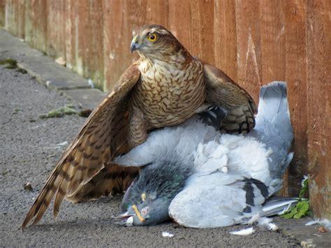come scacciare i piccioni dal terrazzo falchi per scacciare i piccioni falcoinstallazioni