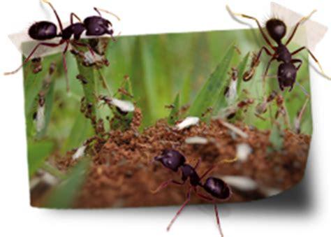 tuin een grote mieren nest een invasie van mieren huidige problemen sos huis en tuin