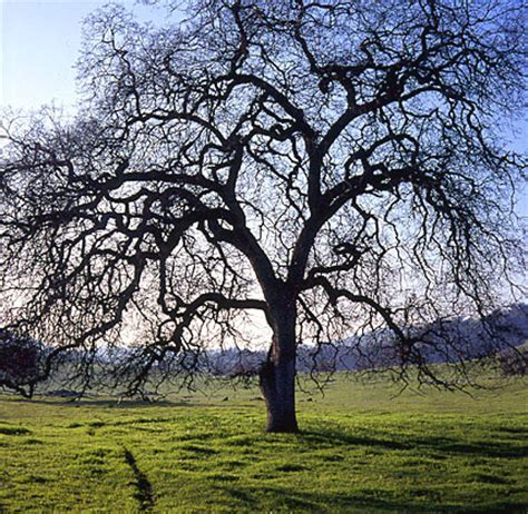 tree fresno ca oak tree fresno california san joaquin valley
