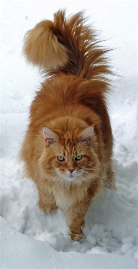 classic red maine coon  snow poc