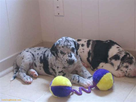pics of great dane puppies great dane puppies picture