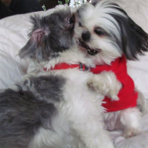 shih tzu puppy biting two shih tzus together shih tzu photos gracie lu shih tzu