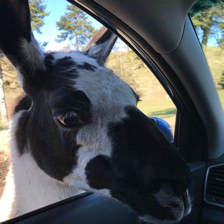 olympic game farm (sequim) all you need to know before