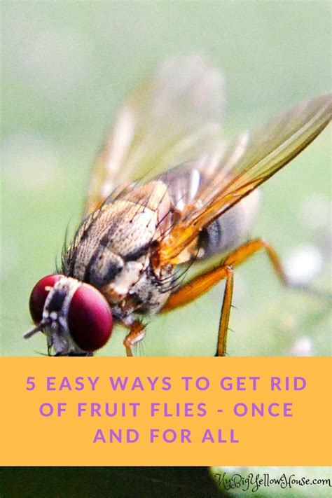 7 Ways To Get Rid Of Fruit Flies by 5 Easy Ways To Get Rid Of Fruit Flies My Big Yellow House