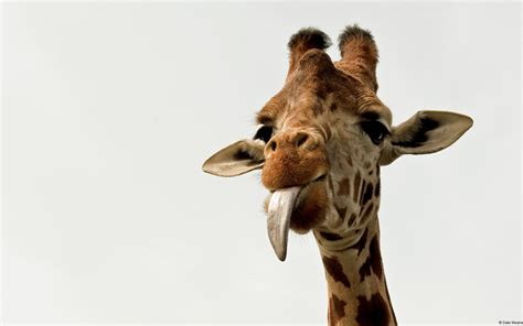 imagenes de jirafas sacando la lengua giraffe full hd wallpaper and background image 1920x1200