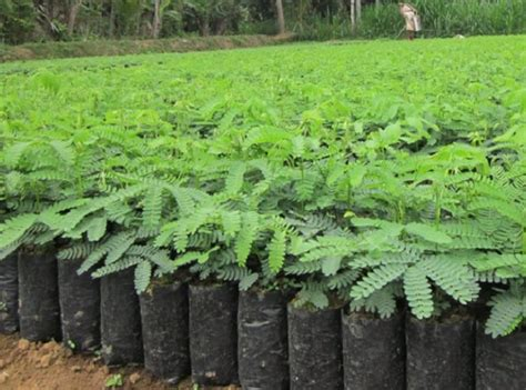 Bibit Sengon Albasia cara menanam sengon yang baik dan benar bibitbunga