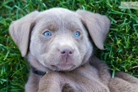 grey lab puppies best 25 silver lab puppies ideas on silver labs silver labrador and grey