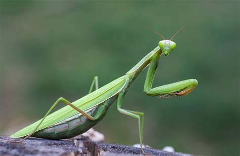 Praying Mantis L by Praying Mantis Seven Strange Facts And How To Get Rid Of