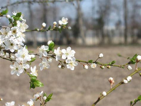 fiori di susino susino prunus domestica prunus salicina alberi da