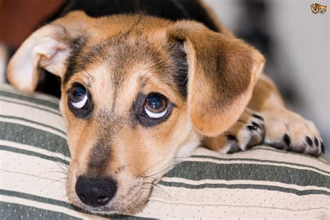 puppy cries tips for dealing with puppy pets4homes