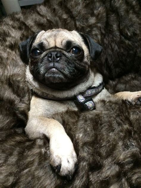 pug snug 967 best images about carlins on pug sleep and pug