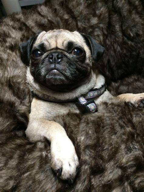 snug as a pug 967 best images about carlins on pug sleep and pug
