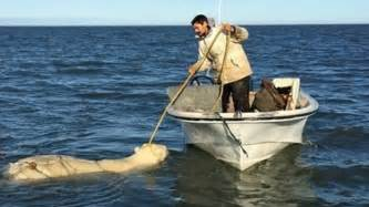 indian fishing boat names white wolf drowning polar bear caught in net saved by