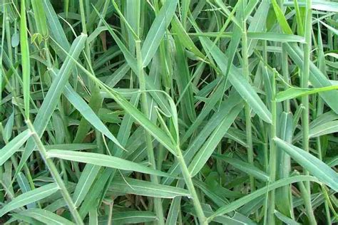 couch grass scientific name urochloa mutica